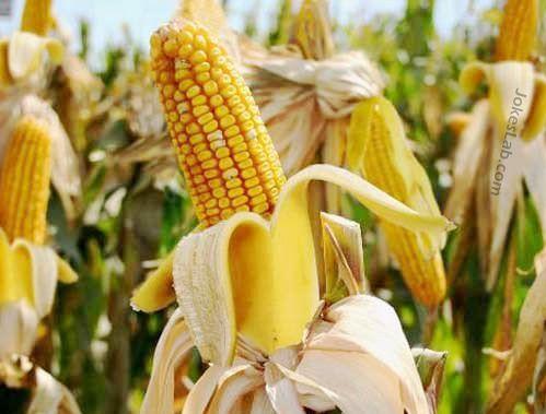 funny banana corn