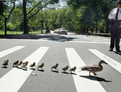 ducks-crossing-road