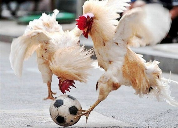 roosters-playing-soccer