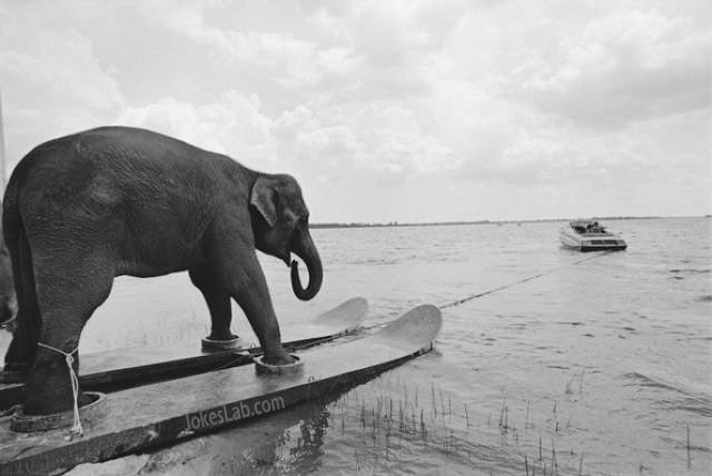 funny-elephant-skiing
