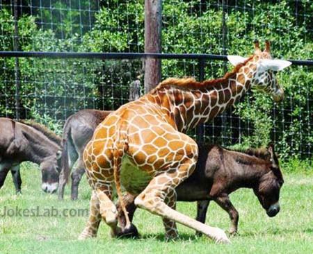 funny animal mating, giraffe and horse