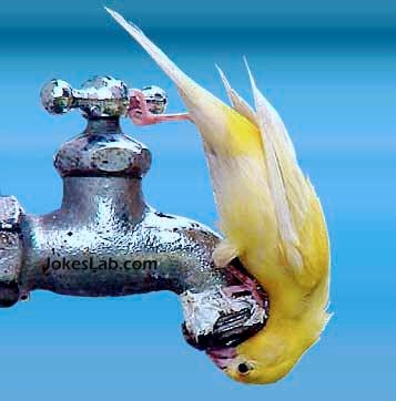 funny bird drinking tap water