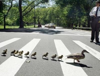 ducks-crossing-road